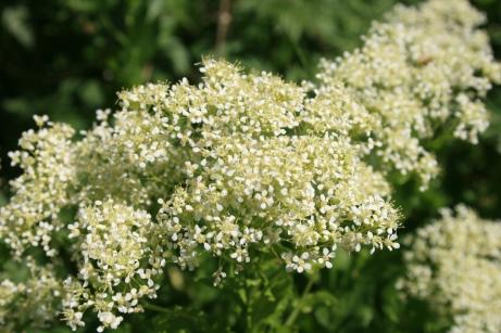 Lepidium-draba-flower